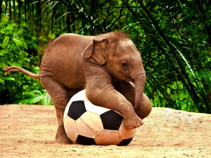Baby elephant on a soccer ball